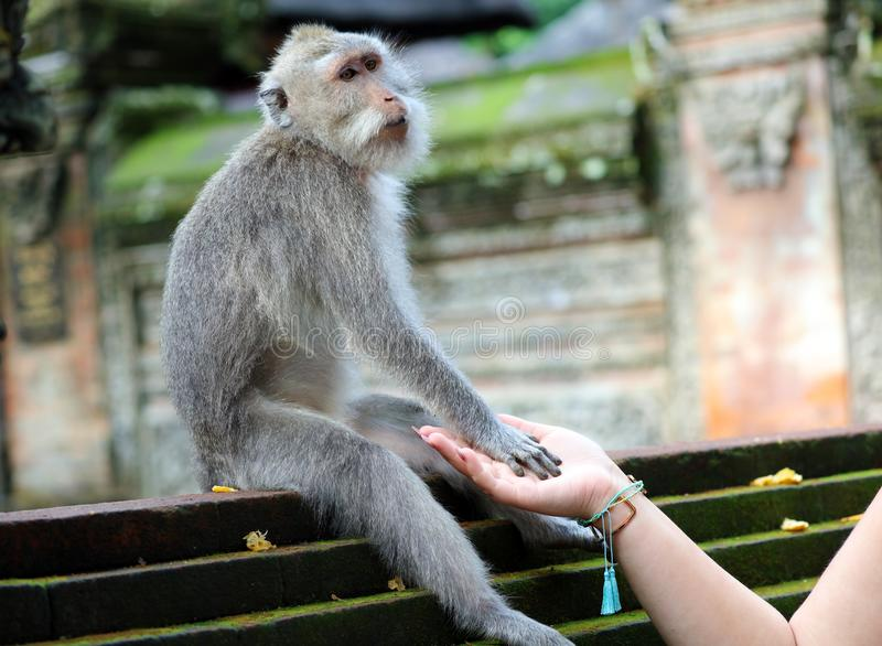 Beautiful unique portrait of monkey holding person hand at monkeys forest in Bali Indonesia, pretty wild animal. royalty free stock photos