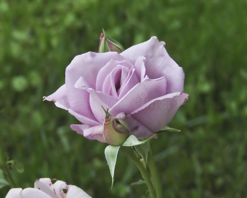 Beautiful Unique Purple Rose Basking in the Sun stock photo
