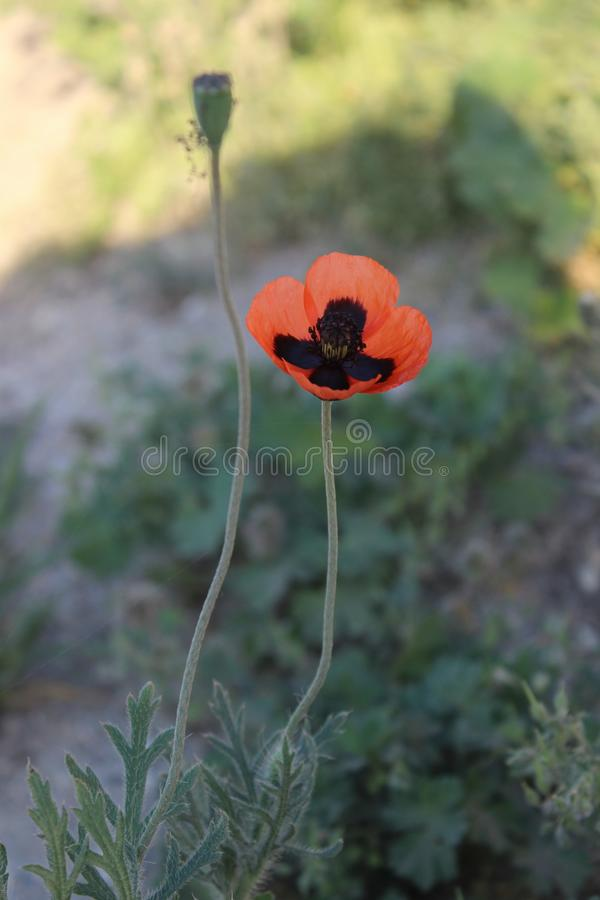 Beautiful and unnatural red-black steppe poppy royalty free stock photography