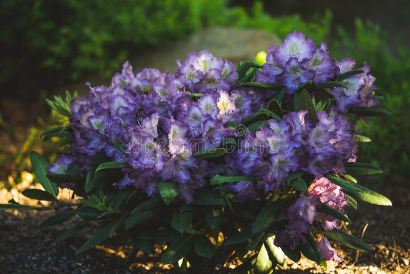 Bush with unusual purple rhododendron flowers in full bloom stock photo