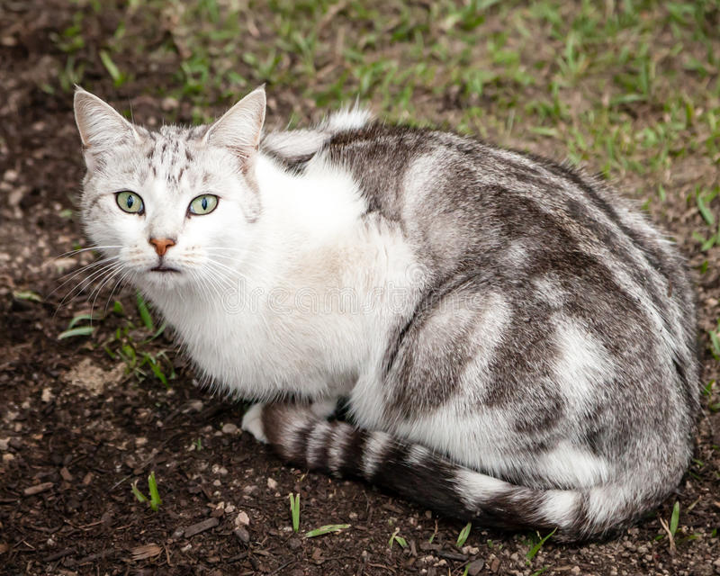 Beautiful Unusual White Grey Brown Tabby Cat Sitting in Yard. Beautiful and unusual looking white, grey and brown tabby cat sitting on dirt and grass in yard stock images