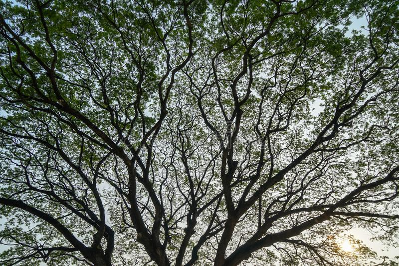 Beautiful vast natural abstract silhouette pattern of giant raintree branches with fresh abundance green leaves and clear blue sky. Background at sunrise royalty free stock photography