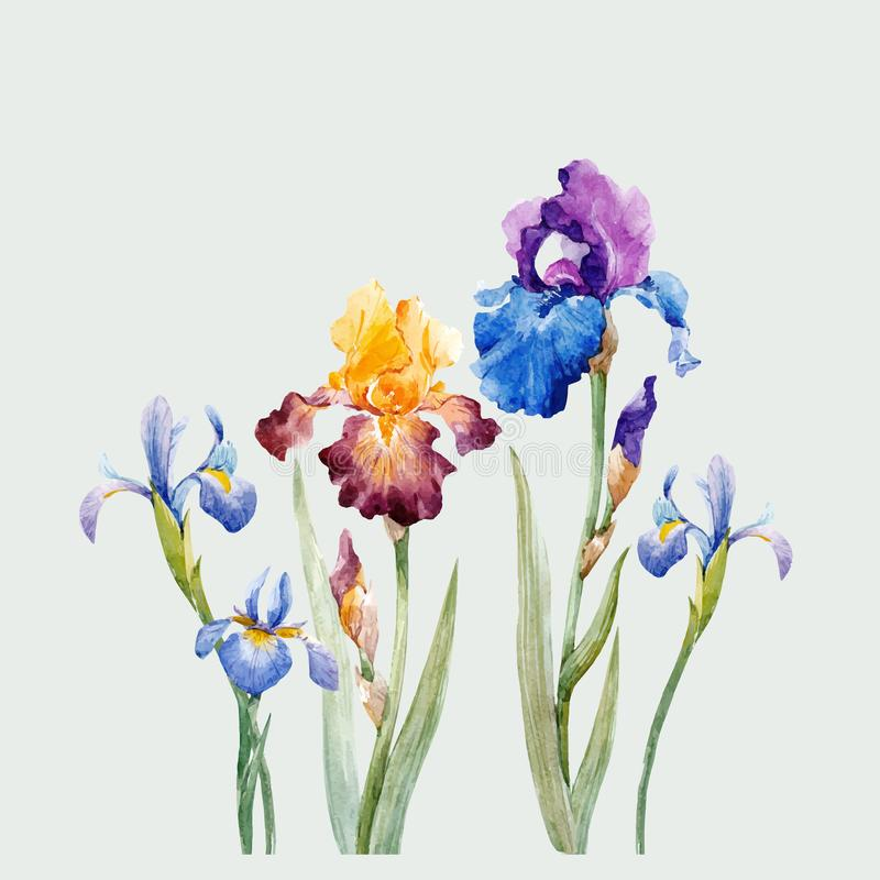 Watercolor iris vector composition royalty free illustration