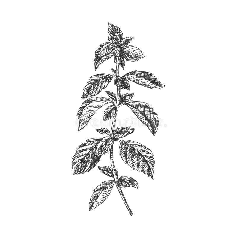 Beautiful vector hand drawn tea herb Illustration. Mint. Beautiful vector hand drawn tea herb Illustration. Detailed retro style images. Vintage sketch element royalty free illustration