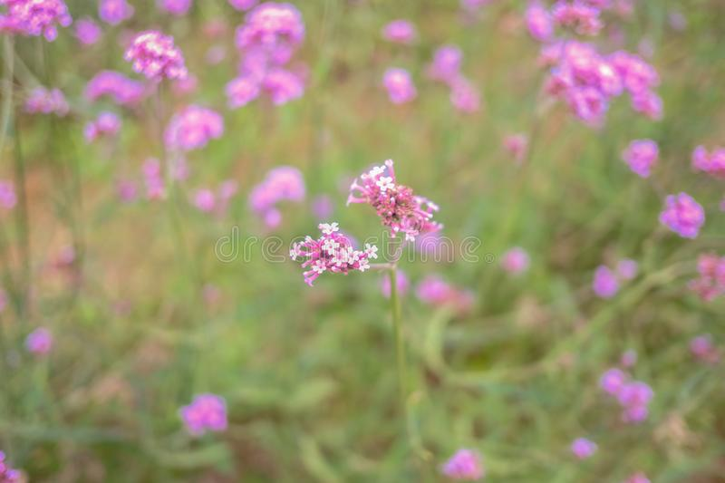 Beautiful Verbena field in mon jam mountain at chiang mai city. Thailand royalty free stock image
