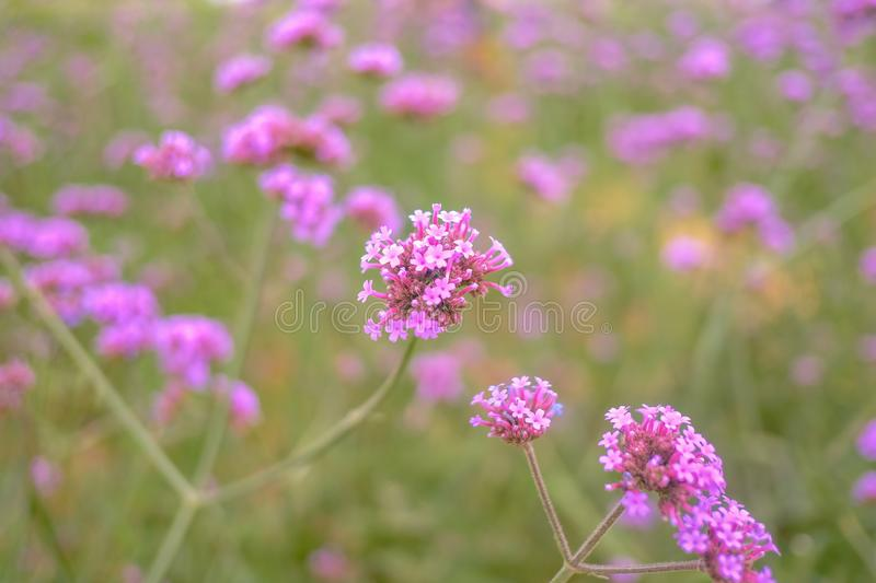 Beautiful Verbena field in mon jam mountain at chiang mai city. Thailand royalty free stock photos