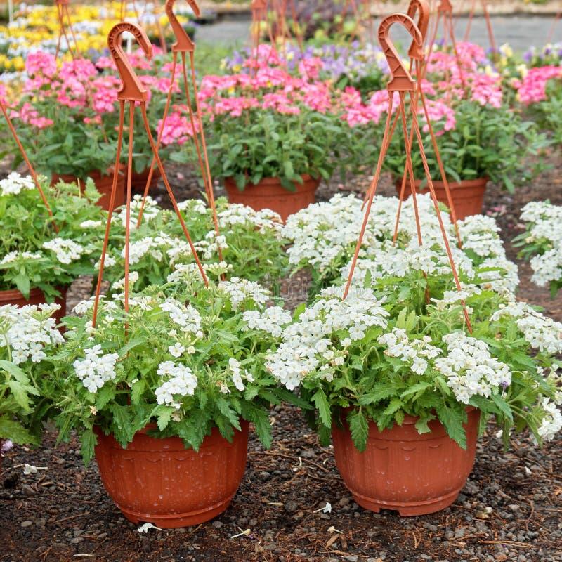 Beautiful verbena flowers growing in pots in outdoor garden shop royalty free stock photos