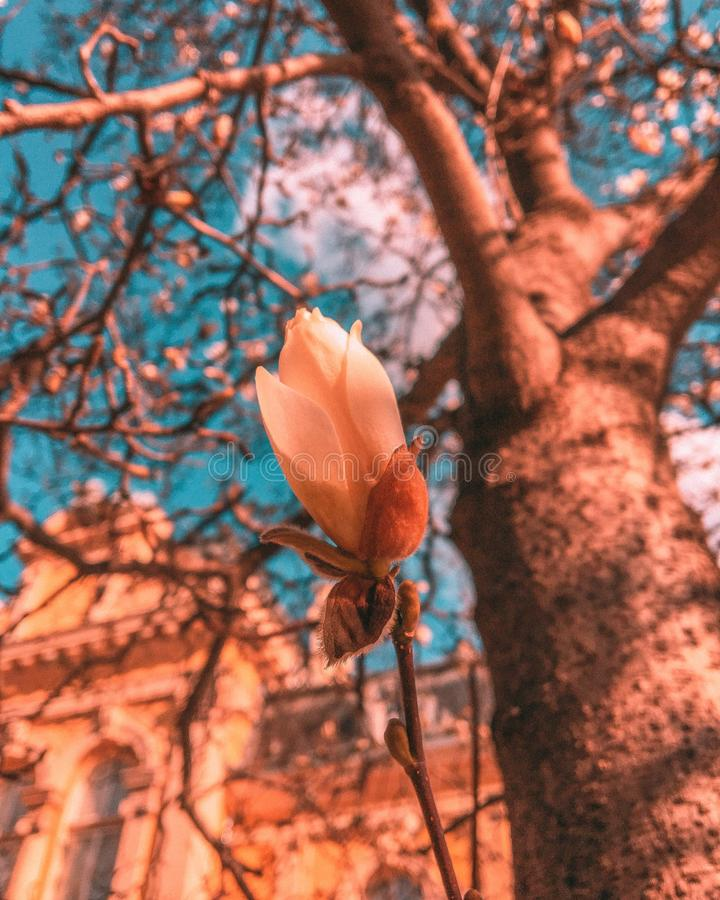 Beautiful vertical shot of a peachy flower on the background of a tree. A beautiful vertical shot of a peachy flower on the background of a tree stock images