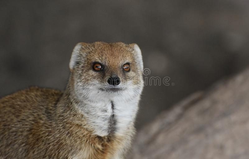 Yellow Mongoose portrait. A beautiful and very cute yellow mongoose amongst rocky outcrops looking straight ahead royalty free stock photo