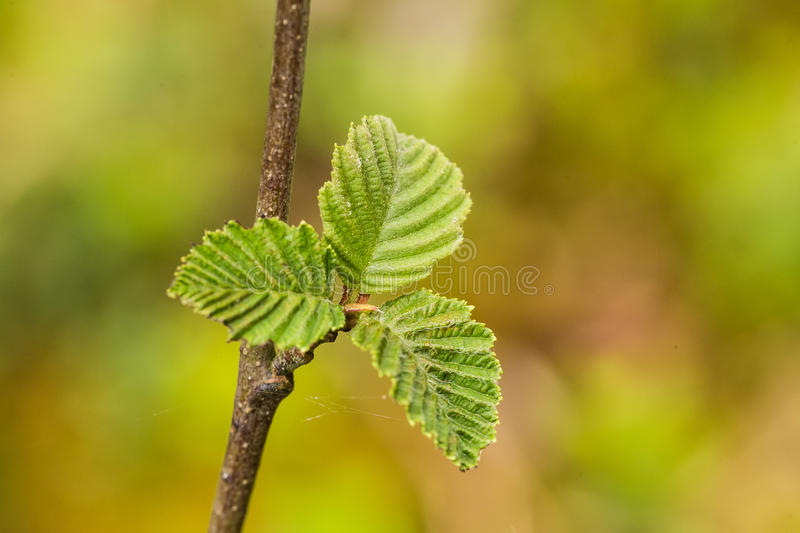 A beautiful, vibrant alder tree leaves on a natural background after the rain in summer. Shallow depth of field closeup macro photo royalty free stock image