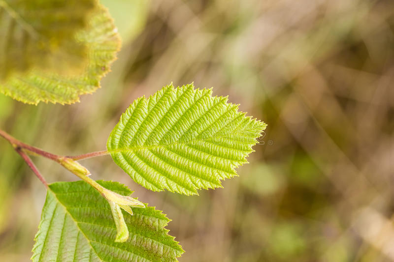 A beautiful, vibrant alder tree leaves on a natural background after the rain in summer. Shallow depth of field closeup macro photo stock photography
