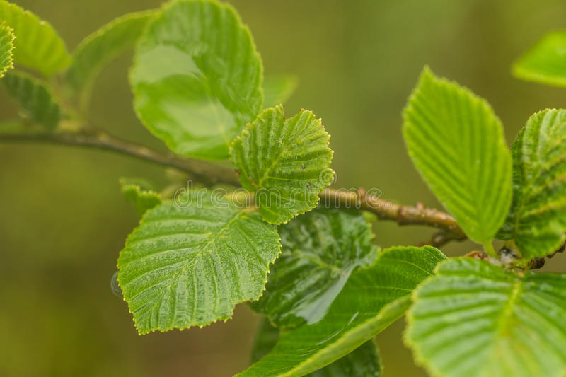 A beautiful, vibrant alder tree leaves on a natural background after the rain in summer. Shallow depth of field closeup macro photo stock photo