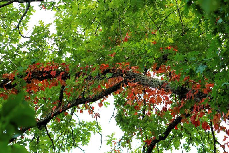 Beautiful vibrant Autumn leaves royalty free stock photography