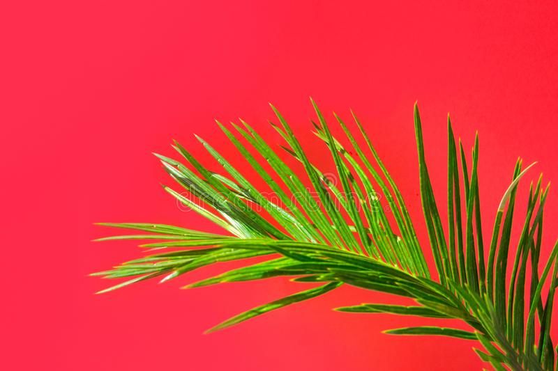 Beautiful vibrant green palm tree leaf on orange pink wall background with sunlight leaks. Urban jungle summer stock images
