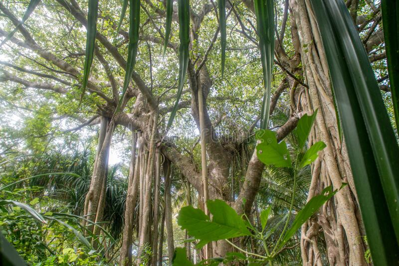 Beautiful vibrant green tropical jungles landscape view with banyan tree stock images
