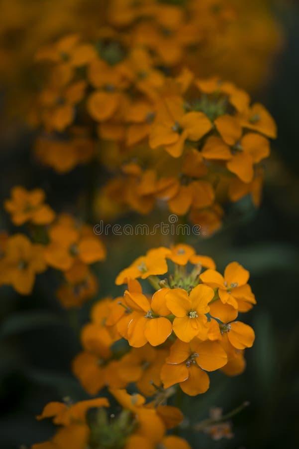 Beautiful vibrant orange apricot twist erysimum brassicaceae Spring wallflower. Beautiful vibrant apricot twist erysimum brassicaceae Spring wallflower royalty free stock photo