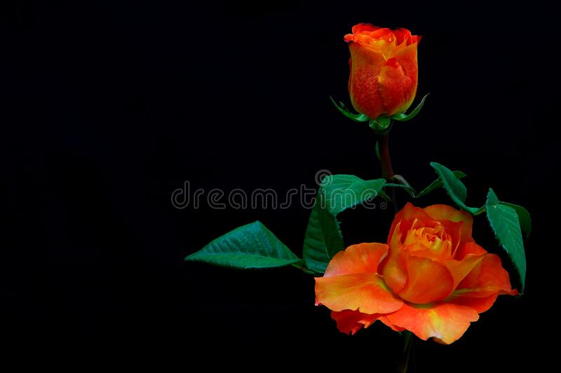 Close up of a vibrant caribbean orange rose on black background. Beautiful and vibrant orange caribbean rose against dark backdrop royalty free stock photo