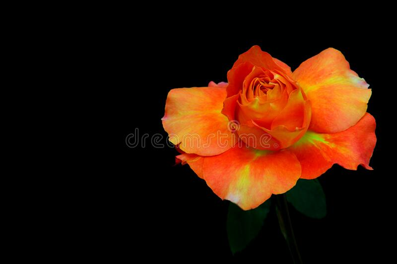 Close up of a vibrant caribbean orange rose on black background. Beautiful and vibrant orange caribbean rose against dark backdrop stock photography
