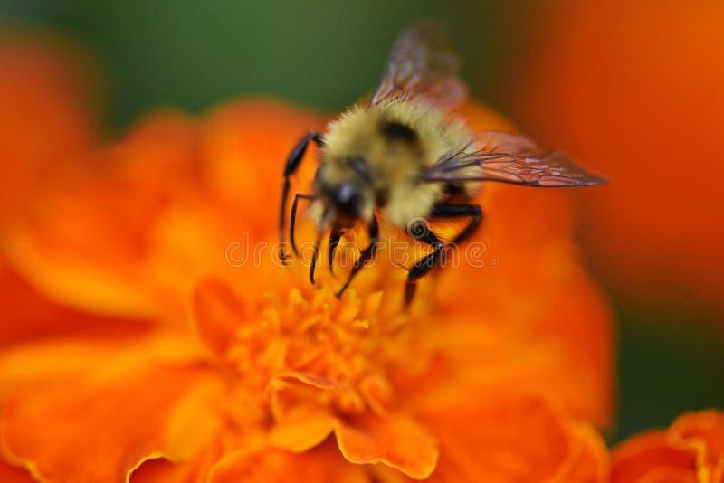 Beautiful vibrant Orange flower with bumblebee stock images
