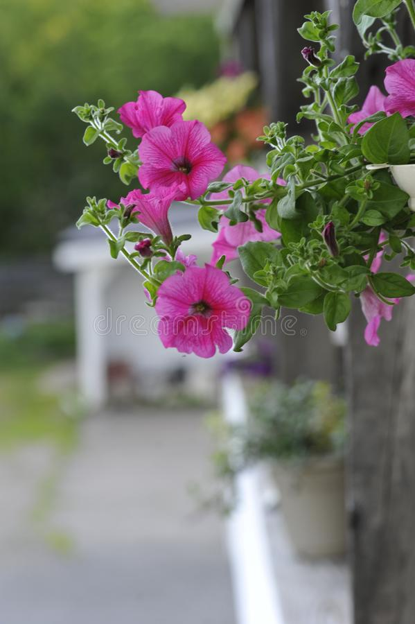 Hanging Pink Wave Petunia Plant. Beautiful vibrant pink wave petunia hanging plant displaying vivid pink flower blossoms stock image