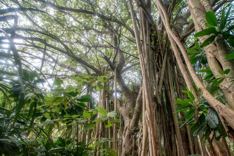 Beautiful tropical forest landscape view with banyan tree stock photography