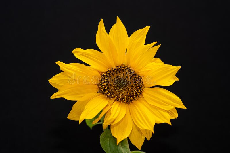 Beautiful and vibrant yellow sunflower on black background. Detailed view of a vibrant yellow sunflower on black background stock photo