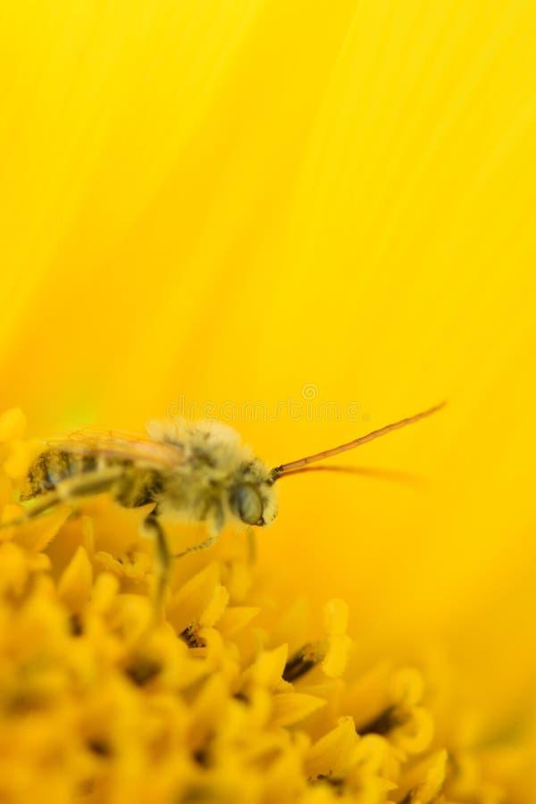 Beautiful vibrant yellow sunflower petals Crisp honey bee Covered in pollen stock images