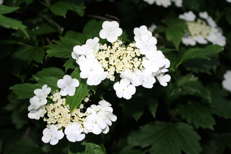 Beautiful viburnum bloom on a sunny day, green background stock photo