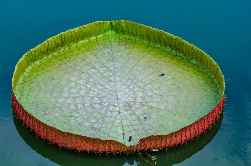 Beautiful Victoria's lotus leaf. Beautiful Victoria's lotus leaf on water pond stock image