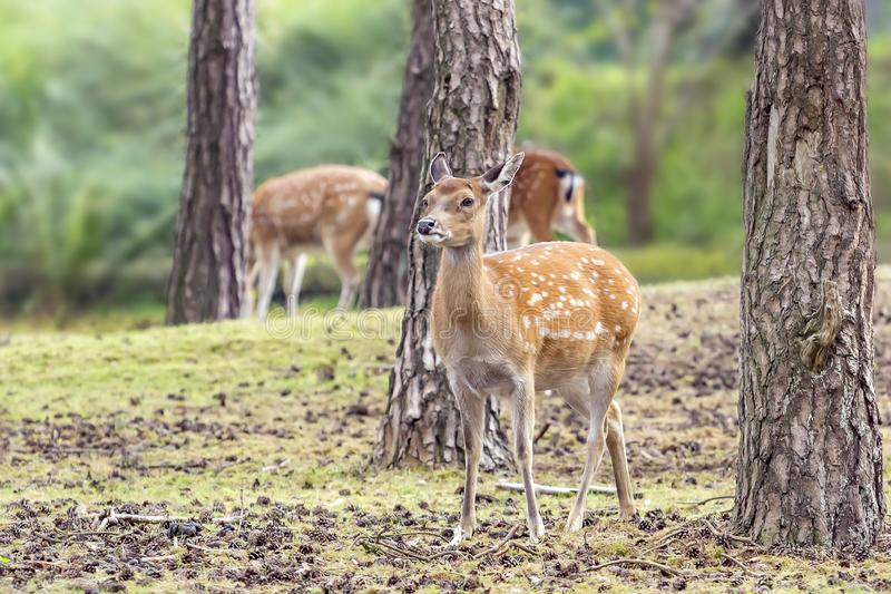 A beautiful Vietnamese sika deer standing between a few pine trees.  royalty free stock images