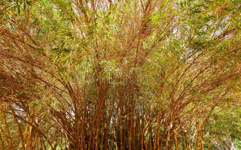 Bamboo forest - Bangalore/Bengaluru. Beautiful view of Bamboo forest in Lal Bagh Botanical Garden, one of the tourist attractions in Bangalore, with plenty royalty free stock photos