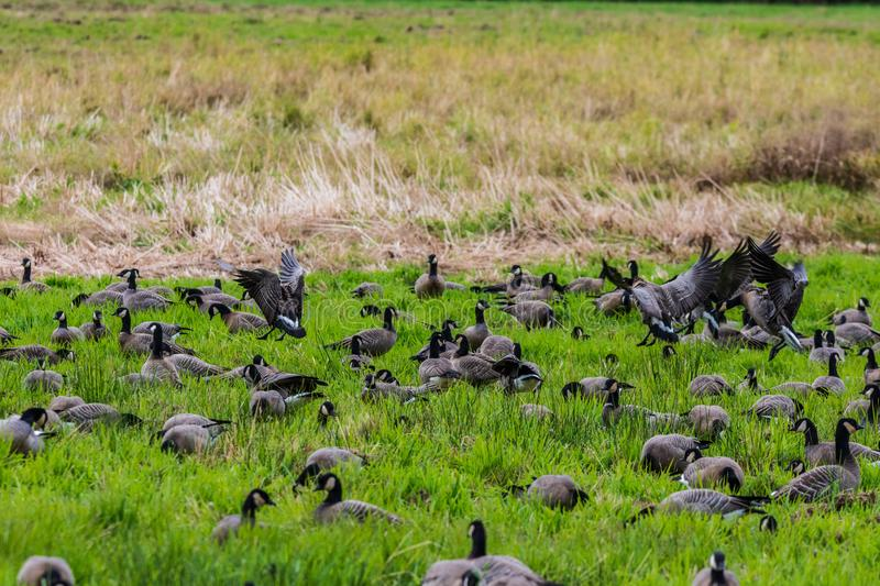 A whole bunch of Canadian geese flocking together in a bird reserve in nisqually Washington. A beautiful view of birds relaxing in the sunshine royalty free stock image