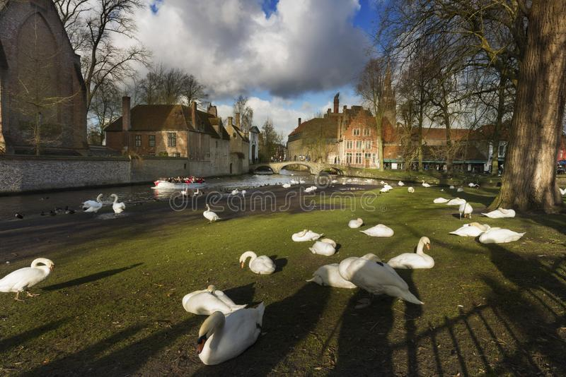 Beautiful view of a canal and white swans, bridge, red roofs in Bruges stock photo