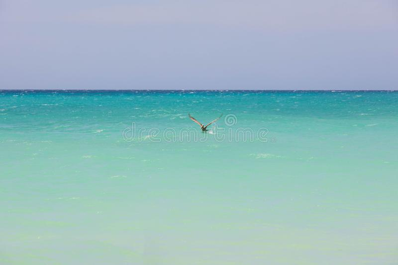 Beautiful view of cute pelican bird skimming over turquoise water of Atlantic ocean on blue sky background stock images