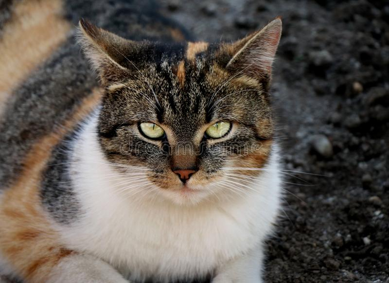 A beautiful view of domestic cat with strict face looking to camera. This is my best friend Liza. Her colours are orange, black an royalty free stock photos