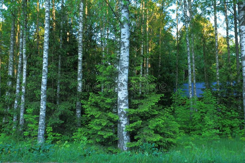 Beautiful view of forest with green trees on blue sky background. Cute fir tree hugging birch stock images