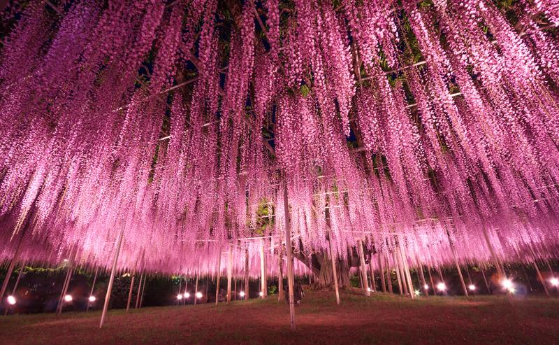 Beautiful view of Great purple pink wisteria trellis at night at Ashikaga Flower Park, Japan. Nature Travel, Natural Beauty concep. T stock images