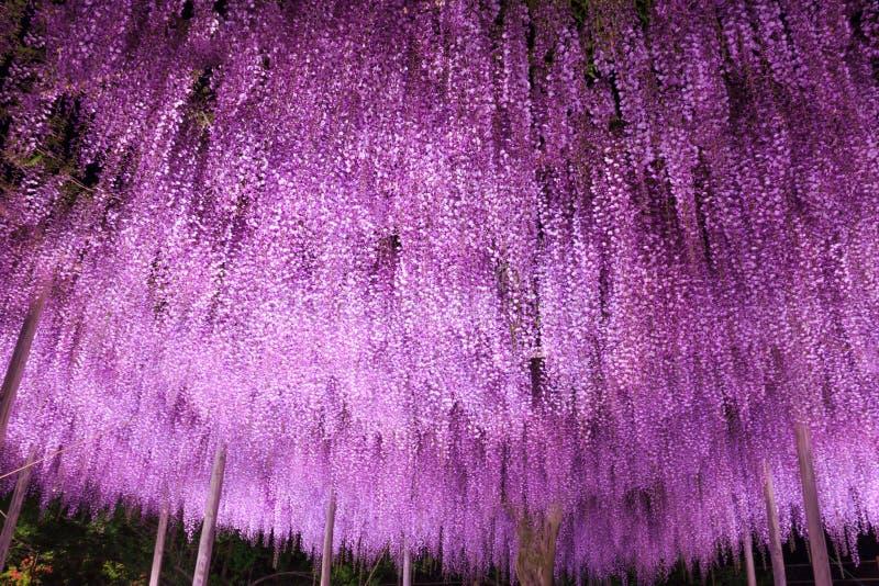 Beautiful view of Great purple wisteria trellis at night at Ashikaga Flower Park, Japan. Nature Travel, Natural Beauty concept.  royalty free stock photos