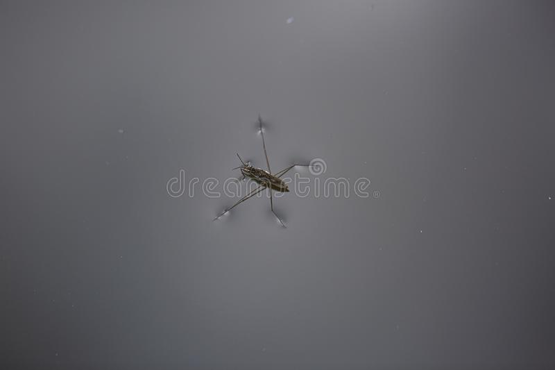 Beautiful view of insect water meter on water surface isolated. stock photos