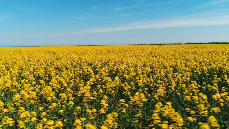 Beautiful view of large field covered with bright yellow flowers against the blue sky in warm summer day. Shot royalty free stock photo
