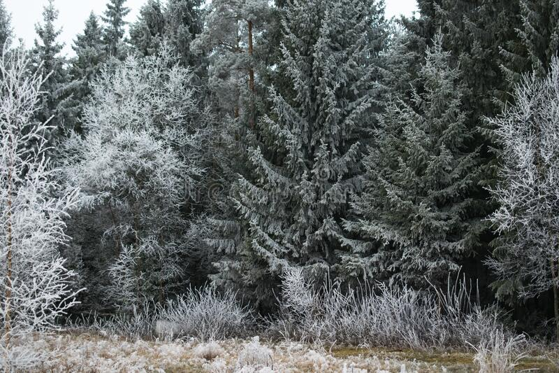 Beautiful view of a pine tree forest covered with frost in Mysen, Norway royalty free stock photos