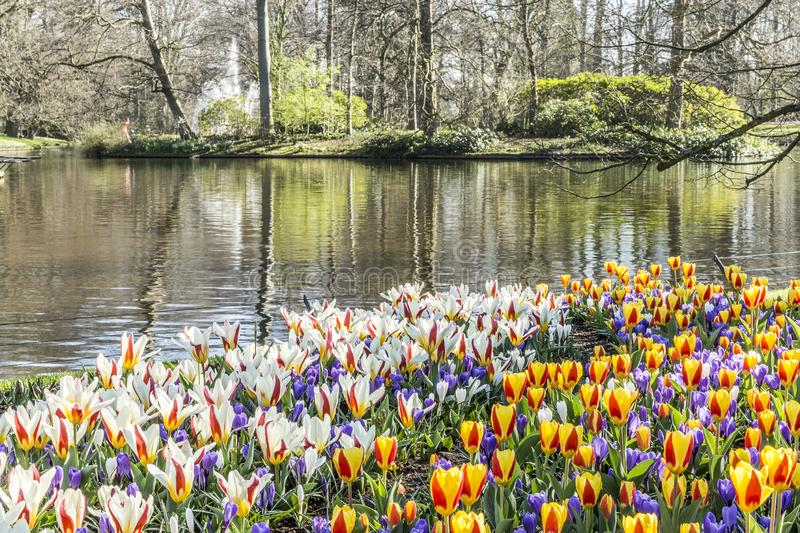 Beautiful view of red yellow and white tulips at the shore of a lake with trees royalty free stock image