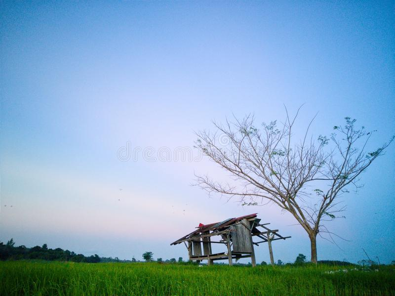 Beautiful view of rice paddy field during sunset in Malaysia. Nature composition. Beautiful view rice paddy field sunset malaysia nature composition royalty free stock images