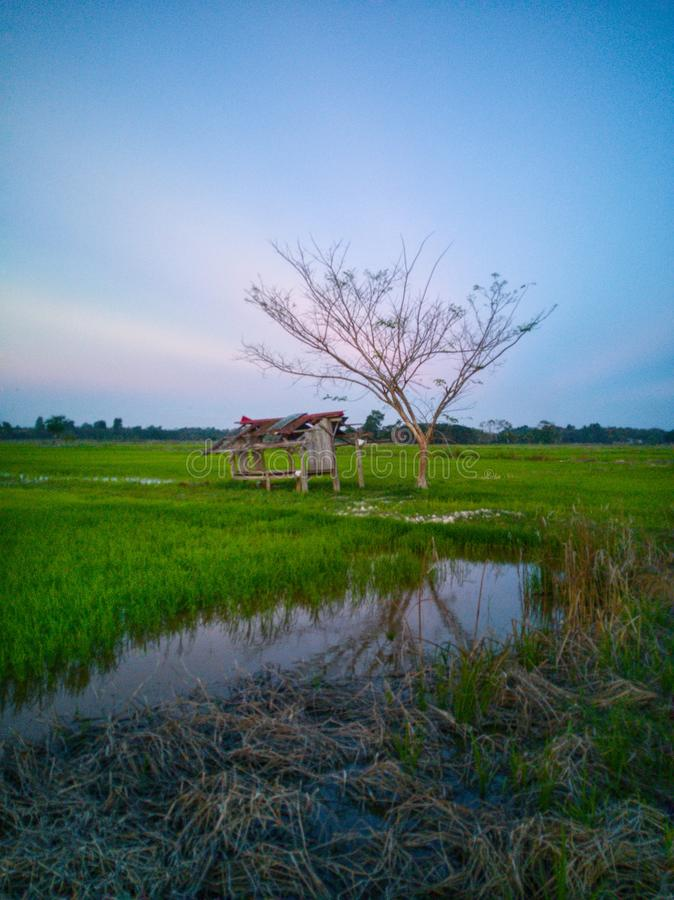 Beautiful view of rice paddy field during sunset in Malaysia. Nature composition. Beautiful view rice paddy field sunset malaysia nature composition stock photo