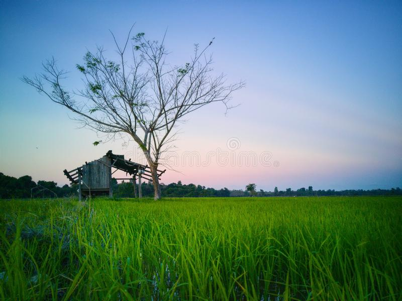 Beautiful view of rice paddy field during sunset in Malaysia. Nature composition. Beautiful view rice paddy field sunset malaysia nature composition royalty free stock photos