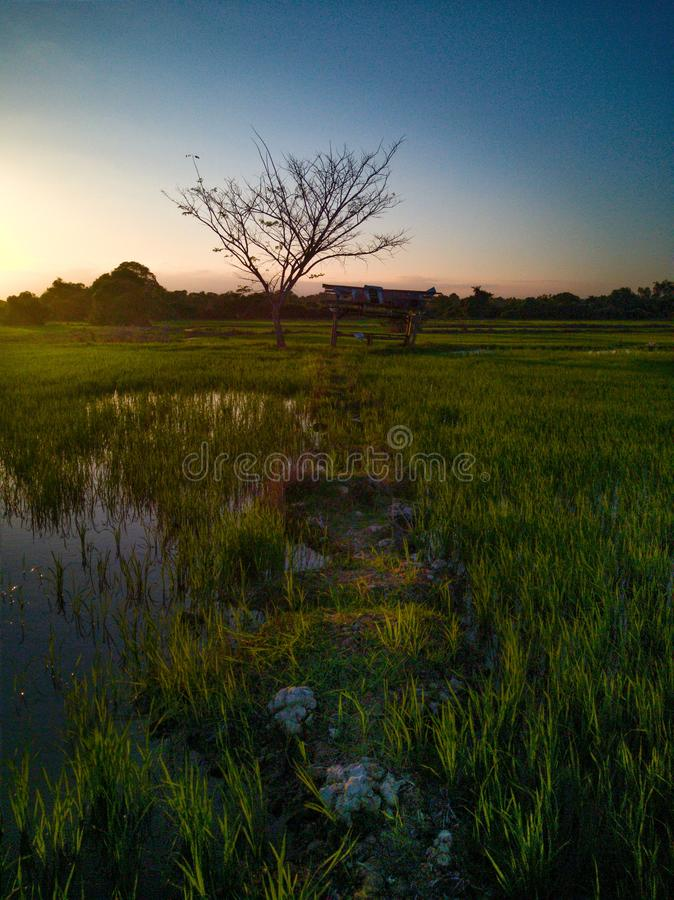 Beautiful view of rice paddy field during sunset in Malaysia. Nature composition. Beautiful view rice paddy field sunset malaysia nature composition royalty free stock image