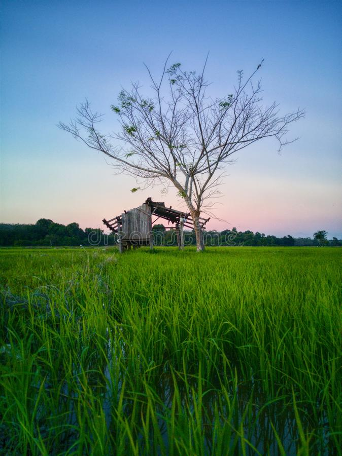 Beautiful view of rice paddy field during sunset in Malaysia. Nature composition. Beautiful view rice paddy field sunset malaysia nature composition stock photography