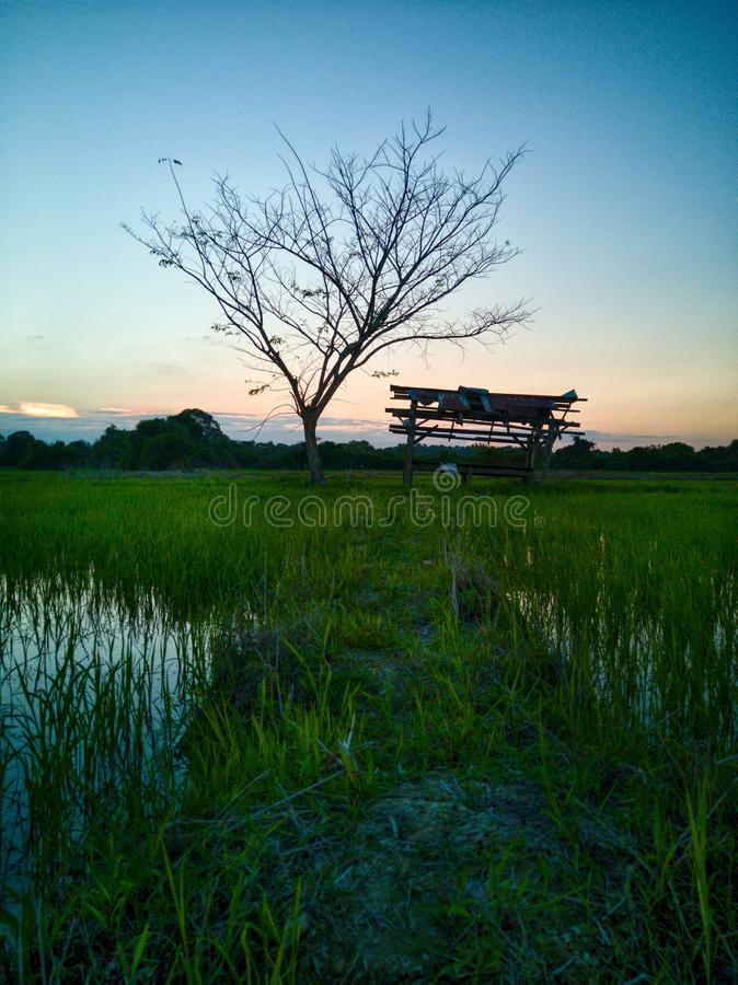 Beautiful view of rice paddy field during sunset in Malaysia. Nature composition. Beautiful view rice paddy field sunset malaysia nature composition royalty free stock photo
