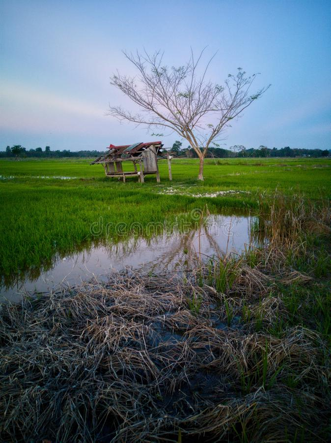 Beautiful view of rice paddy field during sunset in Malaysia. Nature composition. Beautiful view rice paddy field sunset malaysia nature composition stock image