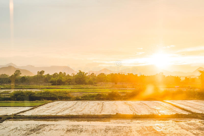 Beautiful view of rice paddy field during sunset. Nature composition. Beautiful view of rice paddy field during sunset . Nature composition royalty free stock images